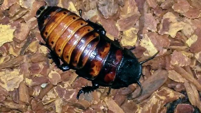 maleroach